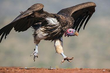 Lappet-faced Vulture (Torgos tracheliotus) landing, Zimanga Game Reserve, South Africa