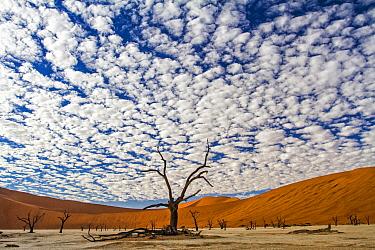 Camelthorn Acacia (Acacia erioloba) trees and sand dunes, Namib-Naukluft National Park, Namibia