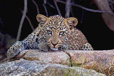 Leopard (Panthera pardus) cub, Limpopo, South Africa