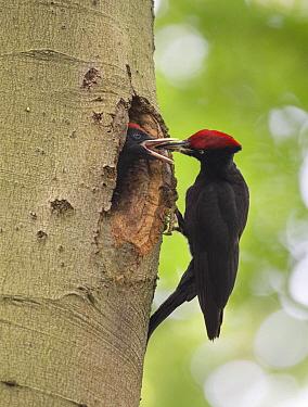 Black Woodpecker (Dryocopus martius) father feeding chick in nest cavity, Noord-Brabant, Netherlands