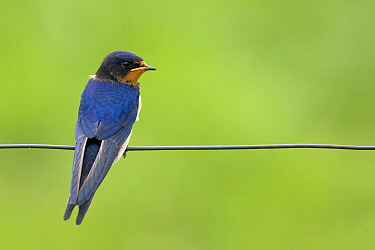 Barn Swallow (Hirundo rustica) perching on wire, Roggebotzand, Dronten, Flevoland, Netherlands