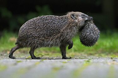 Brown-breasted Hedgehog (Erinaceus europaeus) parent carrying young, Leersum, Utrecht, Netherlands