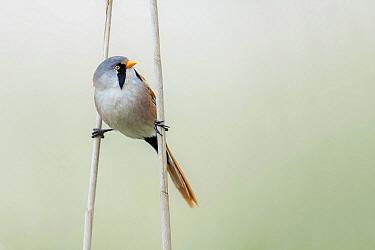 Bearded Tit (Panurus biarmicus) male, Vossemeer, Dronten, Flevoland, Netherlands