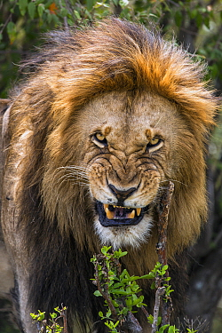 African Lion (Panthera leo) male snarling, Masai Mara, Kenya