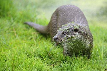 European River Otter (Lutra lutra), Netherlands