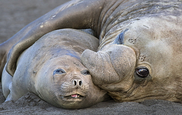 Southern Elephant Seal (Mirounga leonina) pair mating, Gold Harbor, South Georgia Island