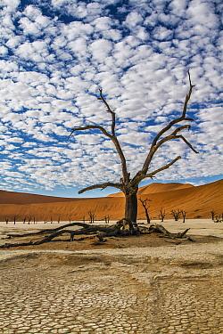 Camelthorn Acacia (Acacia erioloba) tree and sand dunes, Namib-Naukluft National Park, Namibia