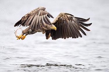 White-tailed Eagle (Haliaeetus albicilla) fishing, Oder Delta, Stepnica, Poland