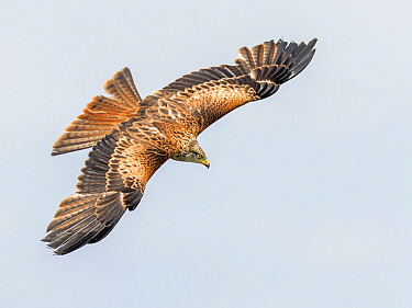 Red Kite (Milvus milvus) flying, Eifel, Kassel, Germany