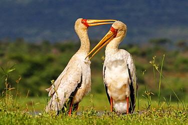 Yellow-billed Stork (Mycteria ibis) pair in courtship, Zimanga Game Reserve, South Africa