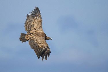 Griffon Vulture (Gyps fulvus) flying, Crete, Greece