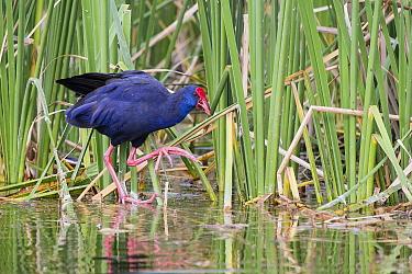 Purple Swamphen (Porphyrio porphyrio)in wetland, Algarve, Portugal