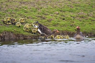 Greylag Goose (Anser anser) family entering water, United Kingdom
