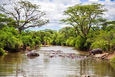 Hippopotamus (Hippopotamus amphibius) group in river, Serengeti National Park, Tanzania