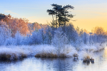 Wetland with frost at sunrise, Haaksbergerveen, Overijssel, Netherlands