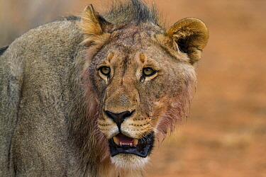 African Lion (Panthera leo) sub-adult male, Erindi Private Game Reserve, Namibia