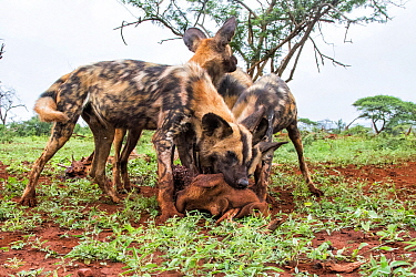 African Wild Dog (Lycaon pictus) group feeding on Warthog (Phacochoerus africanus) prey, Zimanga Game Reserve, South Africa