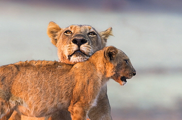 African Lion (Panthera leo) mother with cub, South Luangwa National Park, Zambia