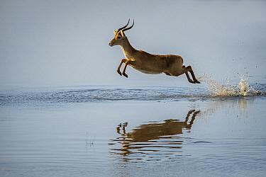 Puku (Kobus vardonii) male running through water, South Luangwa National Park, Zambia