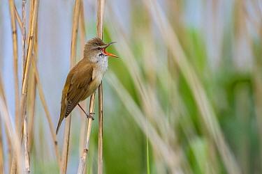 Great Reed-Warbler (Acrocephalus arundinaceus) calling, Vossemeer, Dronten, Flevoland, Netherlands