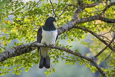New Zealand Pigeon (Hemiphaga novaeseelandiae), Victoria Forest Park, Slab Hut Creek, New Zealand