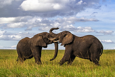 African Elephant (Loxodonta africana) males fighting, Serengeti National Park, Tanzania