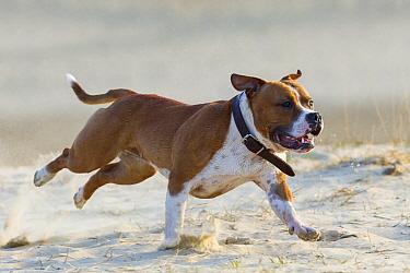 American Staffordshire Terrier (Canis familiaris) running, Loonse En Drunense Duinen National Park, Noord-Brabant, Netherlands