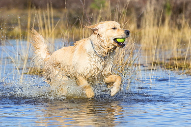 Golden Retriever (Canis familiaris) male running through water with ball, Loonse En Drunense Duinen National Park, Noord-Brabant, Netherlands