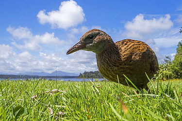 Weka (Gallirallus australis), Lake Mahinapua Scenic Reserve, New Zealand