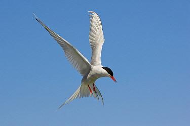 Arctic Tern (Sterna paradisaea) flying, Farne Island, England, United Kingdom