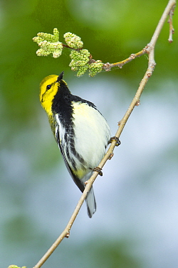 Black-throated Green Warbler (Setophaga virens) male in breeding plumage, Ohio