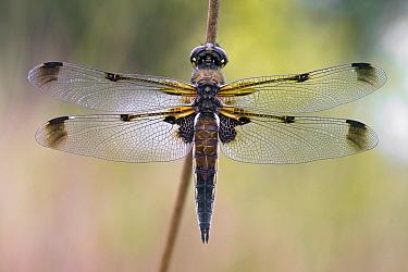 Four-spotted Chaser (Libellula quadrimaculata) dragonfly, Leersum, Utrecht, Netherlands