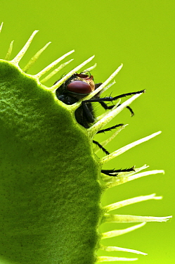 Venus Fly Trap (Dionaea muscipula) with captured House Fly (Musca domestica), Arnhem, Gelderland, Netherlands