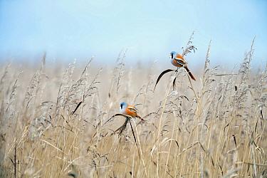 Bearded Tit (Panurus biarmicus) pair in wetland, Vossemeer, Dronten, Flevoland, Netherlands
