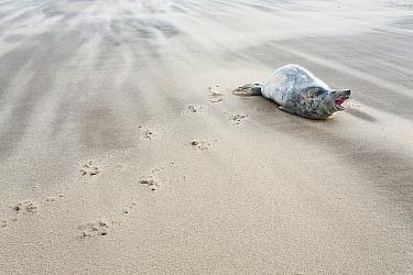 Grey Seal (Halichoerus grypus) calling on beach, Donna Nook, Lincolnshire, England, United Kingdom