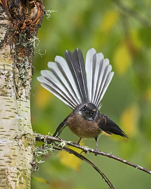 New Zealand Fantail (Rhipidura fuliginosa) displaying, Battle Hill Farm Forest Park, Wellington, New Zealand