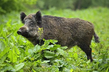 Wild Boar (Sus scrofa) female, Netherlands