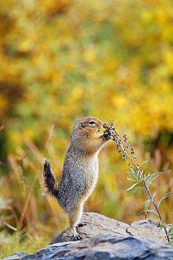 Arctic Ground Squirrel (Spermophilus parryii) feeding, Denali National Park, Alaska