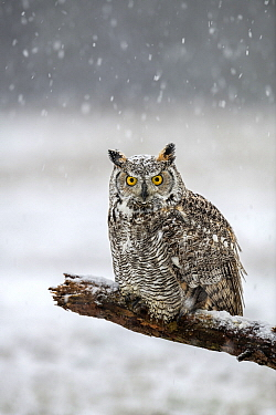 Great Horned Owl (Bubo virginianus) during snowfall, Netherlands