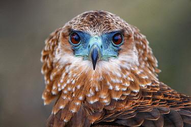 Bateleur Eagle (Terathopius ecaudatus) sub-adult, Kruger National Park, South Africa