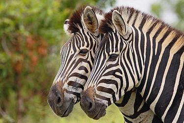 Zebra (Equus quagga) pair, Kruger National Park, South Africa