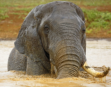 African Elephant (Loxodonta africana) male, with one tusk, bathing, Kruger National Park, South Africa
