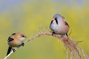 Bearded Tit (Panurus biarmicus) male and juvenile, Roggebotveld, Dronten, Flevoland, Netherlands