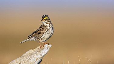 Savannah Sparrow (Passerculus sandwichensis) male, Point Barrow, Alaska