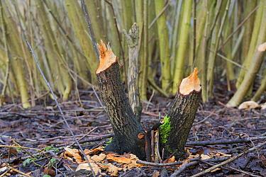 European Beaver (Castor fiber) bite marks, Horsterwold, Netherlands