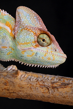 Veiled Chameleon (Chamaeleo calyptratus), native to Middle East
