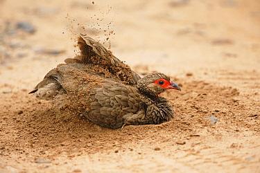 Swainson's Spurfowl (Francolinus swainsonii) dust bathing, Kruger National Park, South Africa