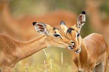 Impala (Aepyceros melampus) pair grooming, Kruger National Park, South Africa