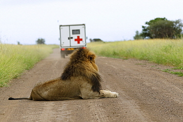 African Lion (Panthera leo) male with ambulance on gravel road, Kruger National Park, South Africa