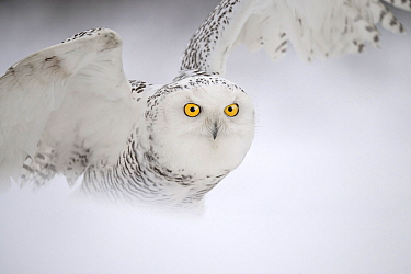 Snowy Owl (Nyctea scandiaca) spreading wings in snow, Netherlands